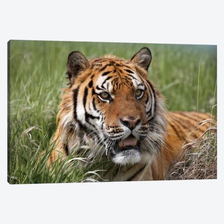 Siberian Tiger Portrait, Endangered, Native To Siberia I 3-Piece Canvas #TFI1002} by Tim Fitzharris Canvas Art Print