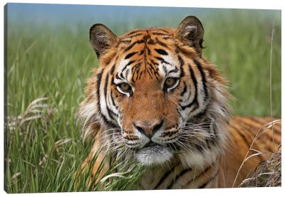 Siberian Tiger Portrait, Endangered, Native To Siberia II Canvas Art Print
