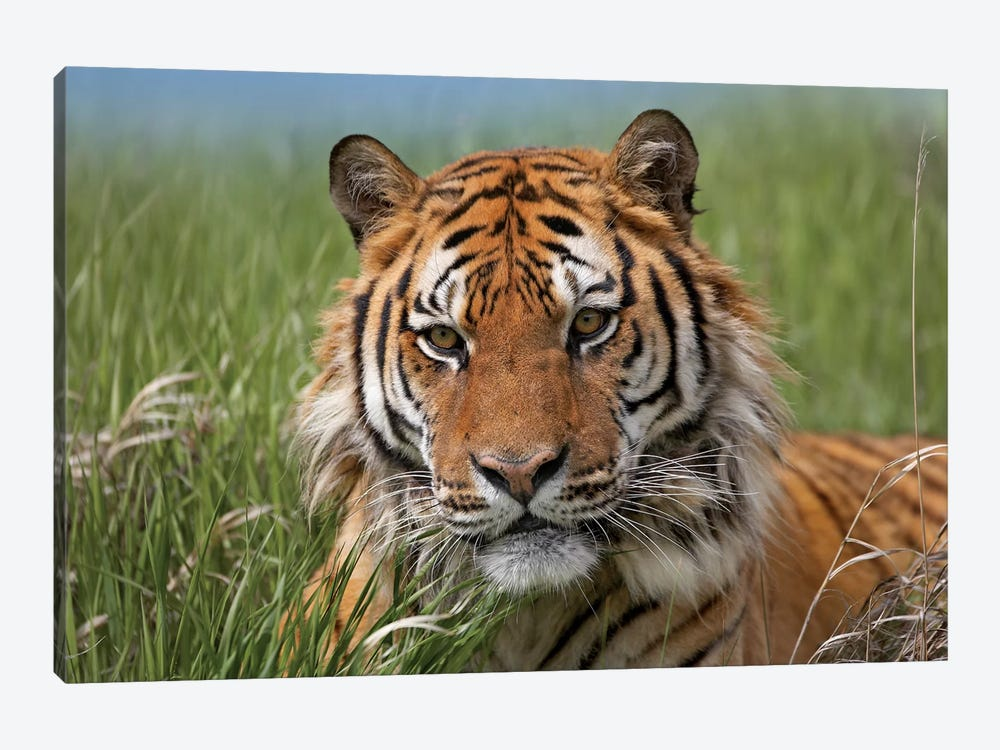 Siberian Tiger Portrait, Endangered, Native To Siberia II by Tim Fitzharris 1-piece Canvas Wall Art