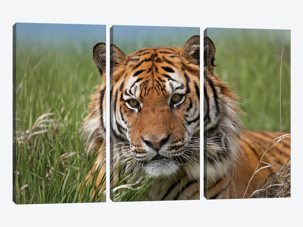 Siberian Tiger Portrait, Endangered, Native To Siberia II by Tim Fitzharris 3-piece Canvas Artwork