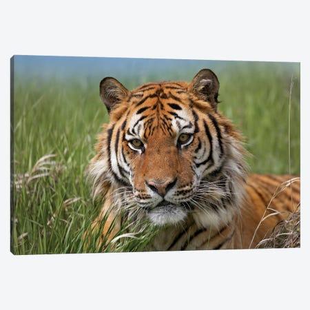 Siberian Tiger Portrait, Endangered, Native To Siberia II Canvas Print #TFI1003} by Tim Fitzharris Art Print