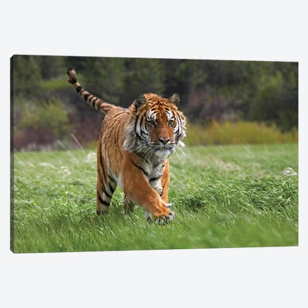 Siberian Tiger Running, Native To Russia I Canvas Print #TFI1004} by Tim Fitzharris Canvas Wall Art