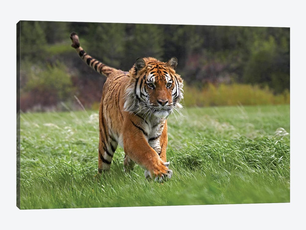 Siberian Tiger Running, Native To Russia I by Tim Fitzharris 1-piece Canvas Print
