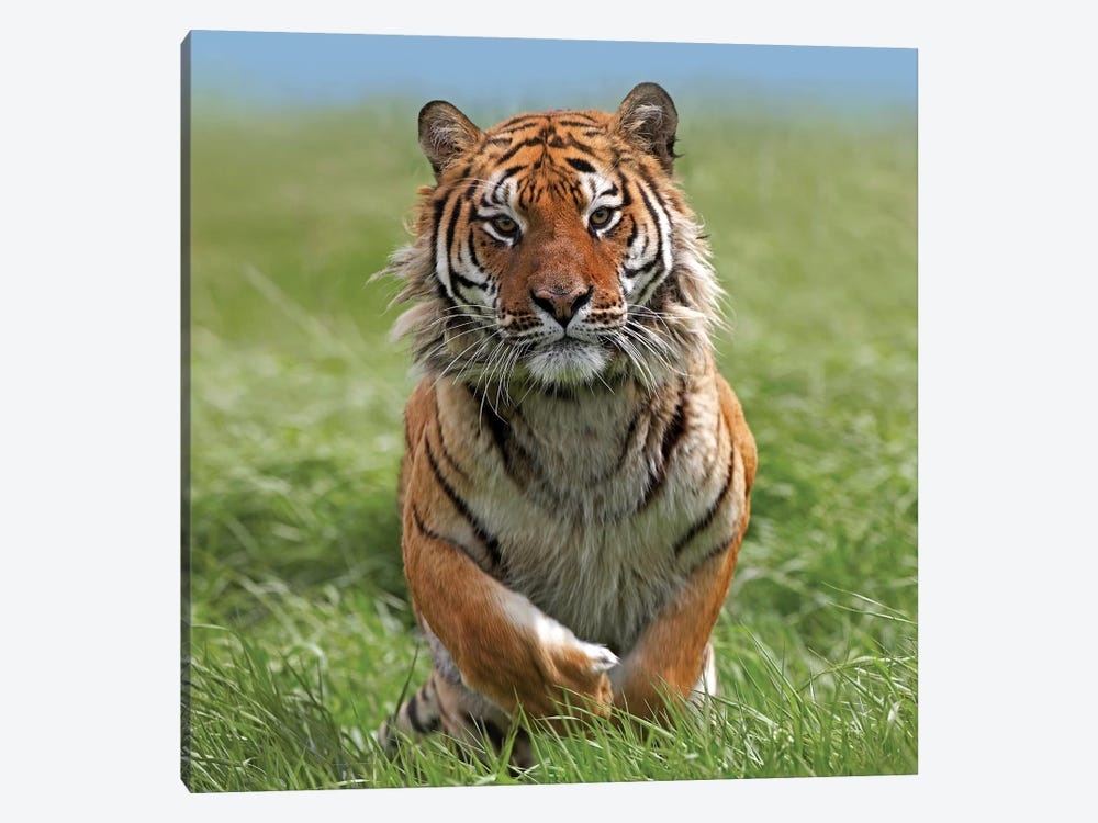 Siberian Tiger Running, Native To Russia II by Tim Fitzharris 1-piece Canvas Artwork
