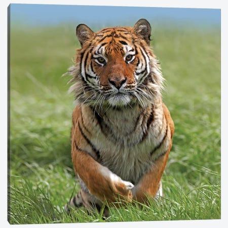 Siberian Tiger Running, Native To Russia II Canvas Print #TFI1005} by Tim Fitzharris Canvas Artwork