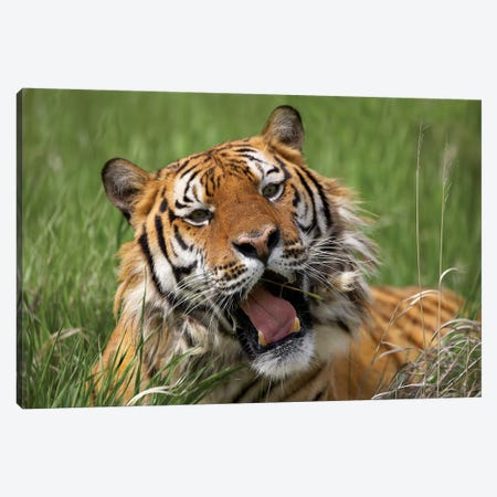 Siberian Tiger Yawning, Endangered, Native To Siberia Canvas Print #TFI1006} by Tim Fitzharris Canvas Artwork
