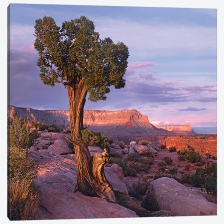 Single-Leaf Pinyon Pine At Toroweap Overlook, Grand Canyon National Park, Arizona Canvas Print #TFI1010} by Tim Fitzharris Canvas Art