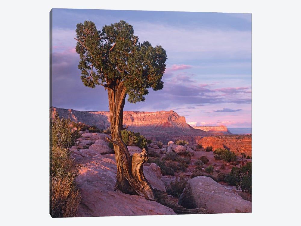Single-Leaf Pinyon Pine At Toroweap Overlook, Grand Canyon National Park, Arizona by Tim Fitzharris 1-piece Canvas Wall Art