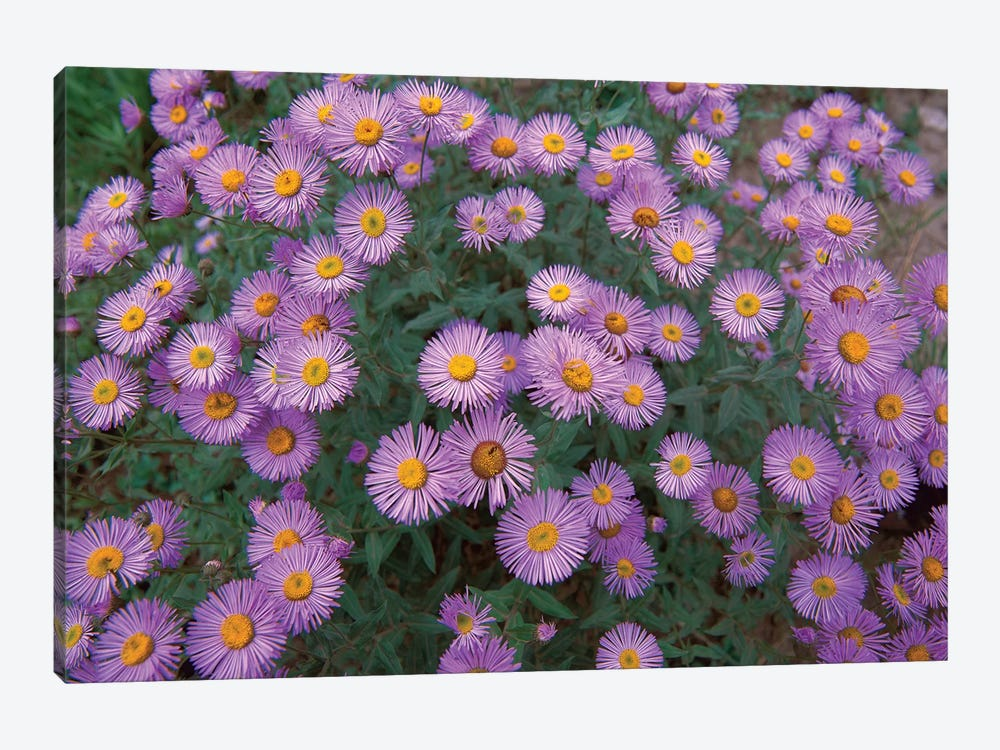 Smooth Aster Plant In Full Summer Bloom, Colorado by Tim Fitzharris 1-piece Canvas Art