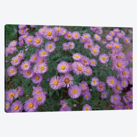 Smooth Aster Plant In Full Summer Bloom, Colorado Canvas Print #TFI1012} by Tim Fitzharris Canvas Wall Art