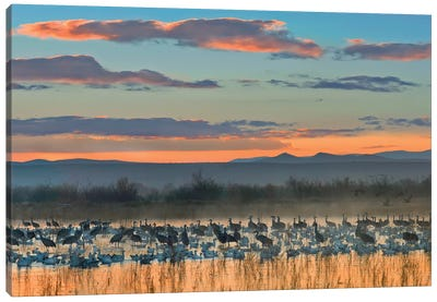 Snow Goose And Sandhill Crane Flock Silhouetted In Water At Sunset, Bosque Del Apache National Wildlife Refuge, New Mexico Canvas Art Print