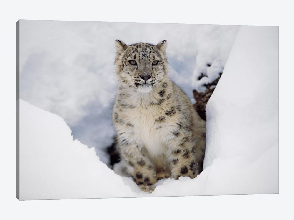 Snow Leopard In Snow, Native To Asia by Tim Fitzharris 1-piece Canvas Artwork