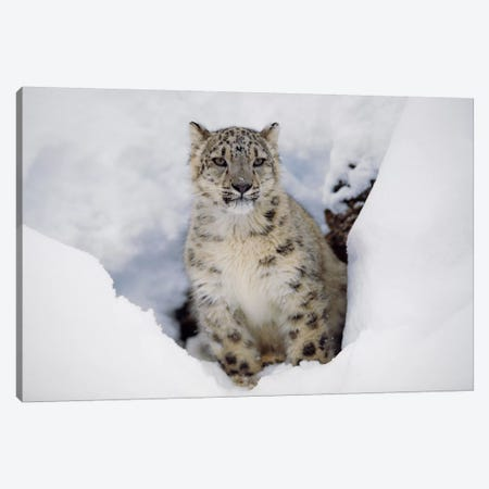 Snow Leopard In Snow, Native To Asia Canvas Print #TFI1016} by Tim Fitzharris Canvas Art Print