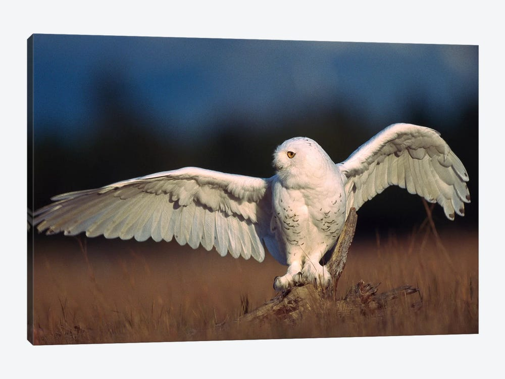 Snowy Owl Adult Balancing On A Stump Amid Dry Grass, British Columbia, Canada by Tim Fitzharris 1-piece Canvas Print