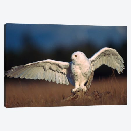 Snowy Owl Adult Balancing On A Stump Amid Dry Grass, British Columbia, Canada Canvas Print #TFI1017} by Tim Fitzharris Art Print