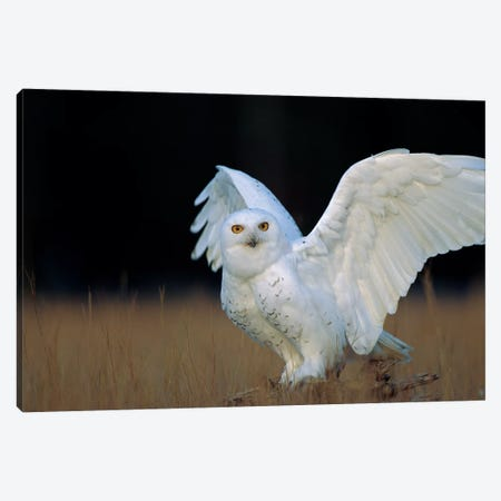 Snowy Owl Adult, Circumpolar Species, British Columbia, Canada Canvas Print #TFI1018} by Tim Fitzharris Canvas Artwork
