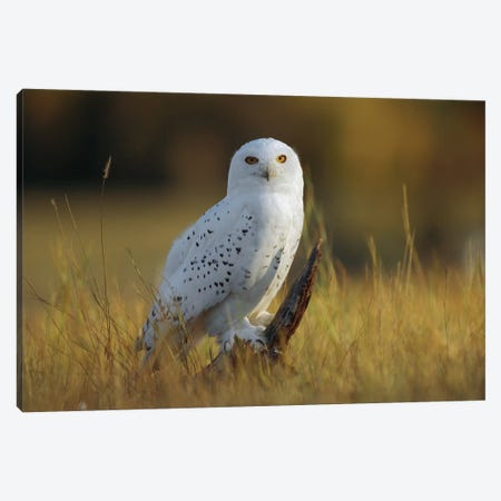 Snowy Owl Amid Dry Grass, British Columbia, Canada Canvas Print #TFI1019} by Tim Fitzharris Canvas Art