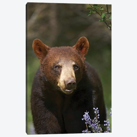 Black Bear Portrait, North America I Canvas Print #TFI101} by Tim Fitzharris Art Print
