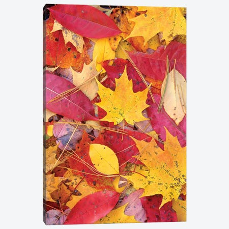 Sourwood And Cherry Leaves, North America Canvas Print #TFI1021} by Tim Fitzharris Canvas Print