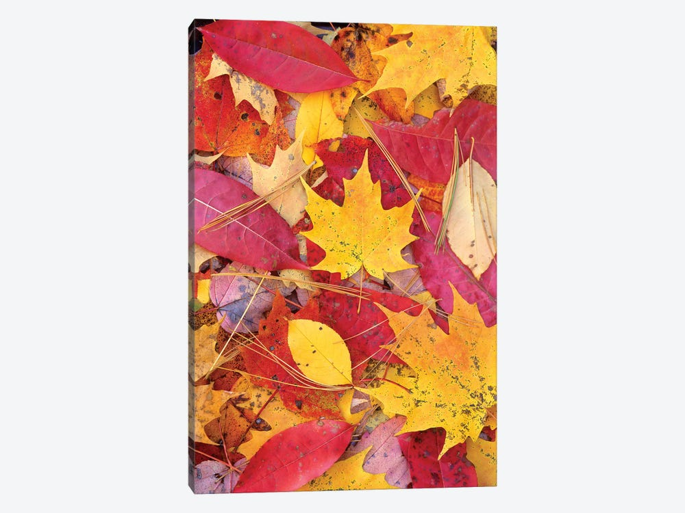 Sourwood And Cherry Leaves, North America by Tim Fitzharris 1-piece Canvas Artwork