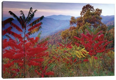 Staghorn Sumac In Autumn, Blue Ridge Mountain Range, Virginia Canvas Art Print