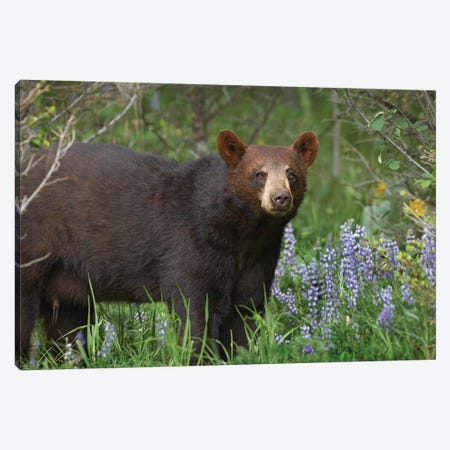Black Bear Portrait, North America II Canvas Print #TFI102} by Tim Fitzharris Art Print