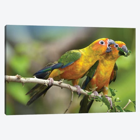 Sun Parakeet Pair Feeding On Leaves, Native To South America Canvas Print #TFI1042} by Tim Fitzharris Art Print
