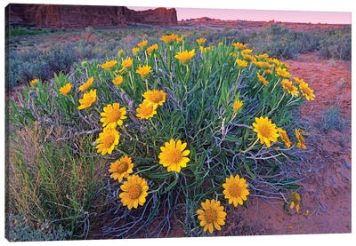 Sunflowers And Buttes, Capitol Reef National Park, Utah Canvas Art Print
