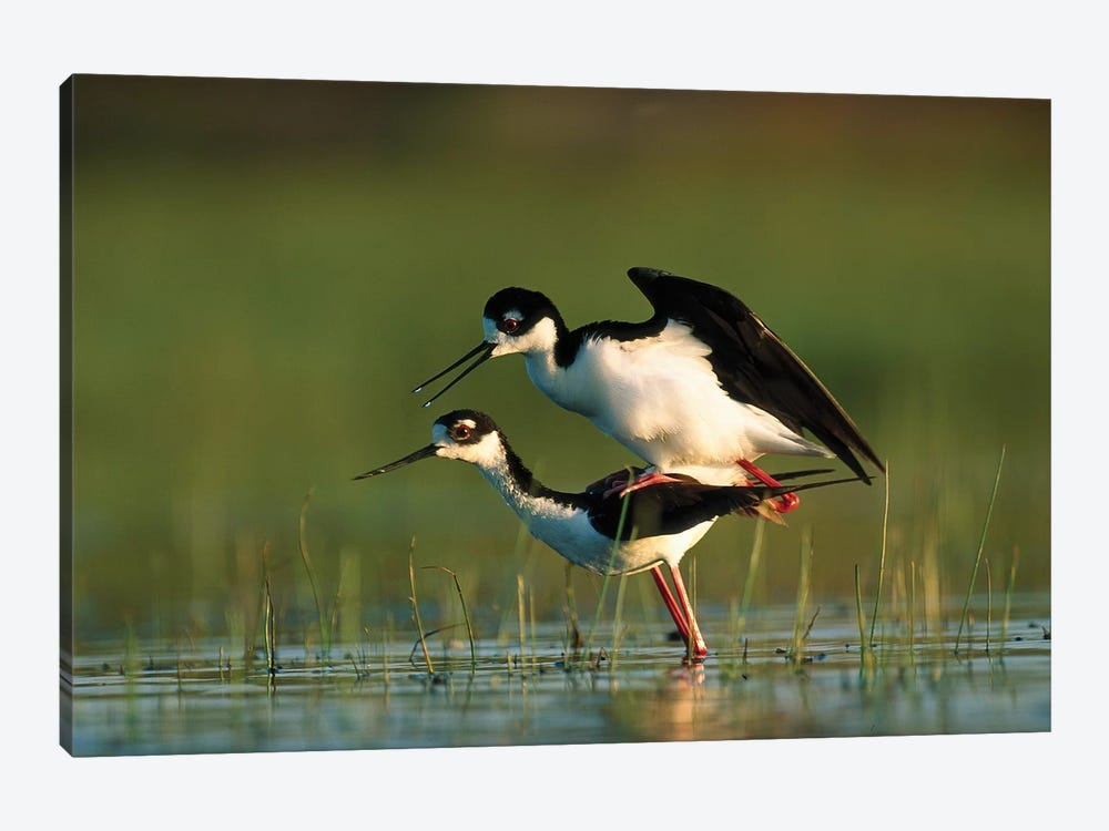 Black-Necked Stilt Couple Mating, North America by Tim Fitzharris 1-piece Canvas Print