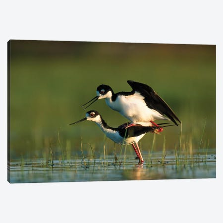Black-Necked Stilt Couple Mating, North America Canvas Print #TFI104} by Tim Fitzharris Canvas Artwork