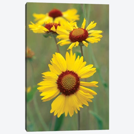 Blanketflower Close Up Showing Dense Pistils In Center, North America Canvas Print #TFI105} by Tim Fitzharris Canvas Wall Art
