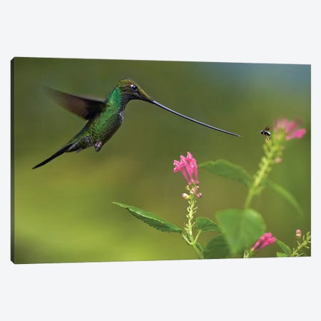 Sword-Billed Hummingbird And Insect, Ecuador Canvas Print #TFI1073} by Tim Fitzharris Canvas Artwork