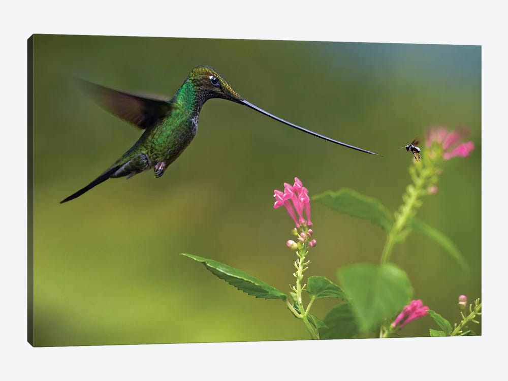 Sword-Billed Hummingbird And Insect, Ecuador by Tim Fitzharris 1-piece Canvas Print