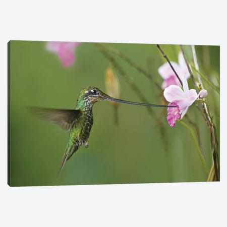 Sword-Billed Hummingbird Feeding On Flower Nectar, Ecuador Canvas Print #TFI1074} by Tim Fitzharris Art Print