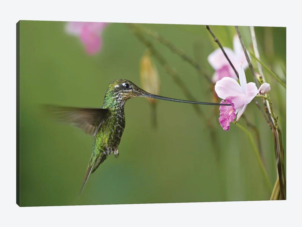 Sword-Billed Hummingbird Feeding On Flower Nectar, Ecuador by Tim Fitzharris 1-piece Canvas Artwork