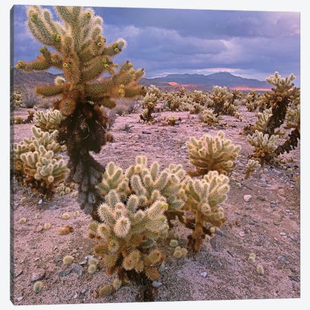 Teddy Bear Cholla Cacti, Joshua Tree National Park, California Canvas Print #TFI1077} by Tim Fitzharris Canvas Print