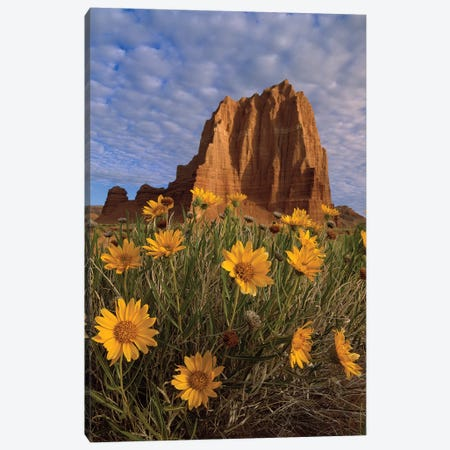 Temple Of The Sun With Sunflowers In The Foreground, Capitol Reef National Park, Utah Canvas Print #TFI1079} by Tim Fitzharris Canvas Artwork