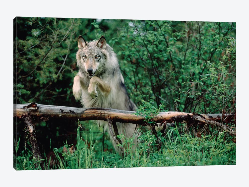 Timber Wolf Leaping Over Fallen Log, North America by Tim Fitzharris 1-piece Canvas Wall Art