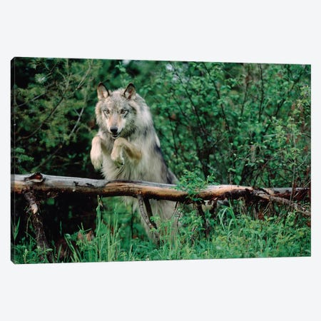 Timber Wolf Leaping Over Fallen Log, North America Canvas Print #TFI1094} by Tim Fitzharris Canvas Art Print