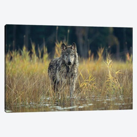 Timber Wolf Pauses While Walking Through Lake, Montana Canvas Print #TFI1095} by Tim Fitzharris Canvas Print