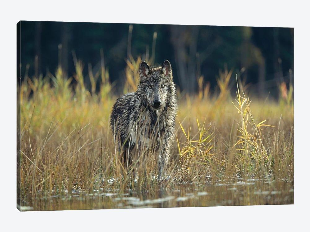 Timber Wolf Pauses While Walking Through Lake, Montana by Tim Fitzharris 1-piece Art Print