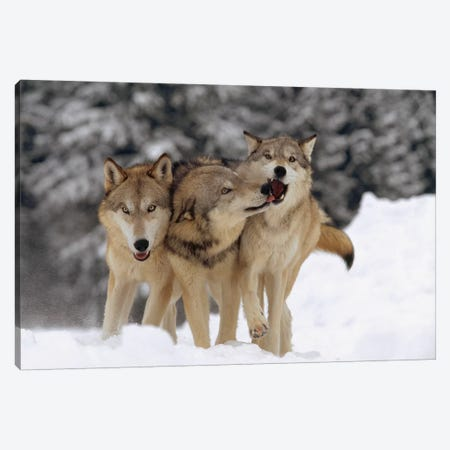 Timber Wolf Trio Playing In Snow, Montana Canvas Print #TFI1097} by Tim Fitzharris Canvas Print