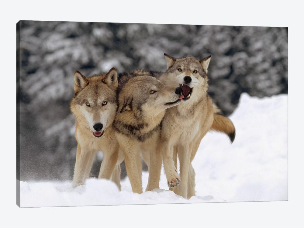 Timber Wolf Trio Playing In Snow, Montana by Tim Fitzharris 1-piece Canvas Art Print