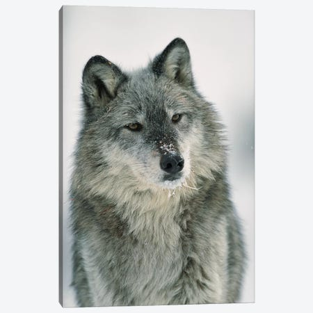 Timber Wolf With Snow On Muzzle, Montana Canvas Print #TFI1098} by Tim Fitzharris Canvas Artwork