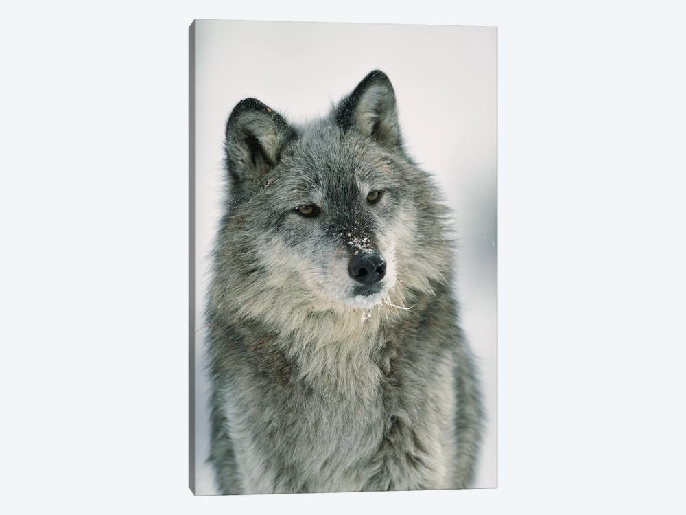 Timber Wolf With Snow On Muzzle, Montana by Tim Fitzharris 1-piece Canvas Wall Art