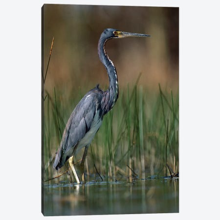 Tricolored Heron Wading, North America Canvas Print #TFI1111} by Tim Fitzharris Canvas Art Print