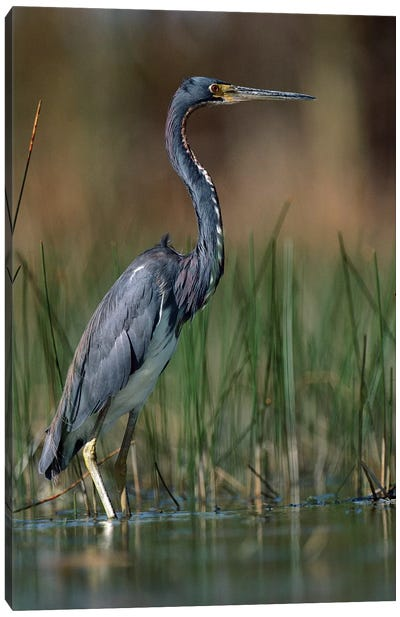 Tricolored Heron Wading, North America Canvas Art Print