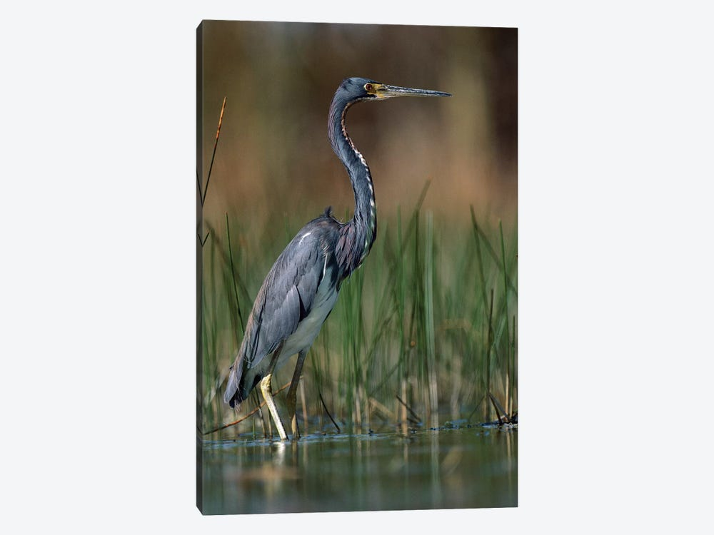 Tricolored Heron Wading, North America by Tim Fitzharris 1-piece Canvas Wall Art