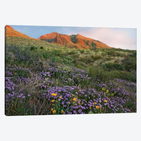 Vervain At Franklin Mountains State Park, Chihuahuan Desert, Texas Canvas Print #TFI1118} by Tim Fitzharris Canvas Print
