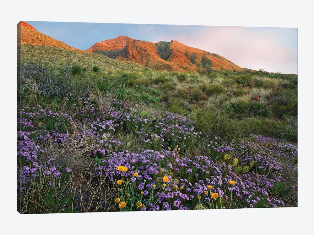 Vervain At Franklin Mountains State Park, Chihuahuan Desert, Texas by Tim Fitzharris 1-piece Canvas Print